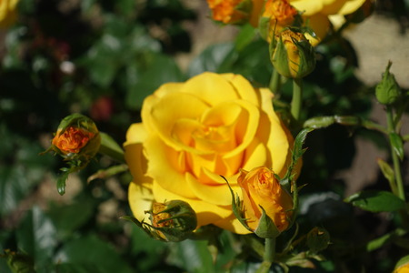 Buds and flower of amber yellow rose in June Stock Photo
