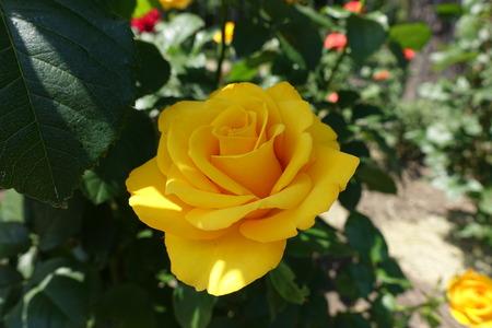 Closeup of amber yellow flower of rose in June
