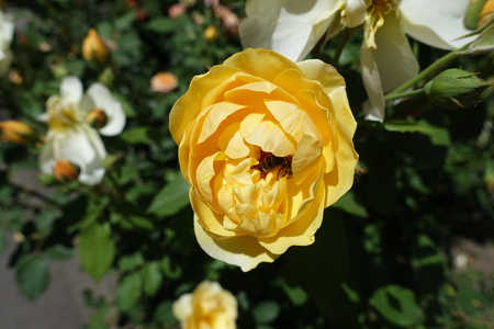 Honey bee pollinating single amber yellow flower of rose