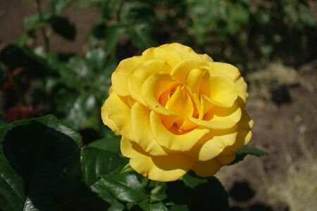 One amber yellow flower of rose in June Imagens