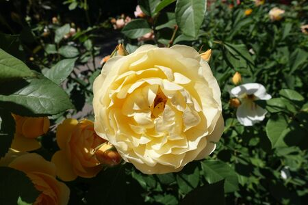 Pale amber yellow flower of rose in June