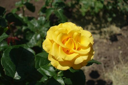 Single amber yellow flower of rose in June