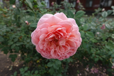 Close view of pink flower of rose in September Stock Photo