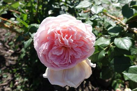 Closeup of pale pink flower of rose in June