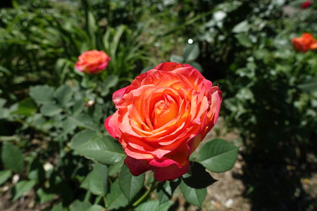 Flower of pink and yellow rose cultivar Stock Photo