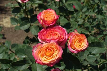 Four pink and yellow flowers of rose