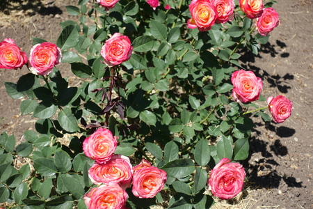 Many pink and yellow flowers of rose