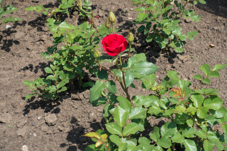 Branch of rose bush with red flower and buds