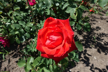 Bright red flower of garden rose in May