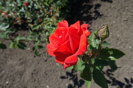 Bud and red flower of rose in May