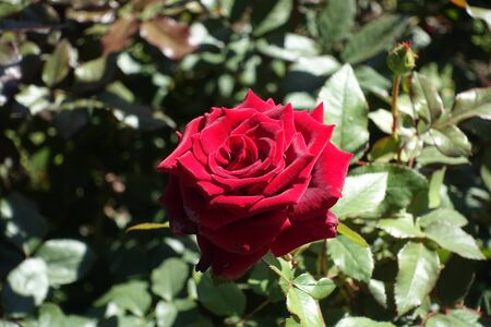 Closeup of dark red flower of garden rose