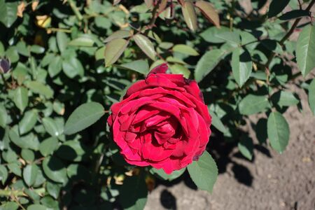Crimson red flower of garden rose in May Imagens