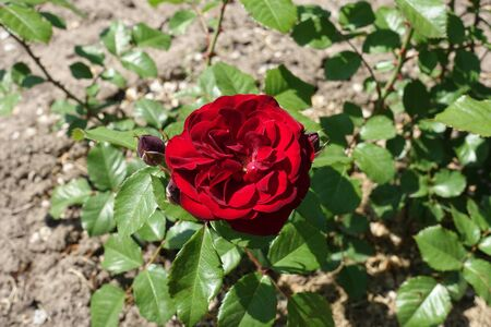 Dark red flower of rose in May