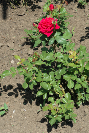Rose bush with bright red flower in May