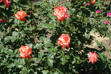 Big red and white flowers of rose in June