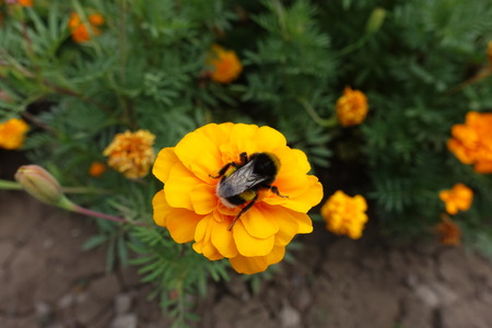 Bumble bee pollinating orange flower of French marigold