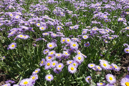 Flowerbed covered with flowering Erigeron speciosus in June