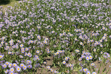 Flowering glade of Erigeron speciosus in early June Stock Photo