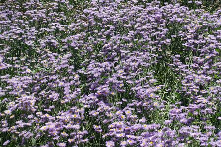Lavender colored flowers of Erigeron speciosus in June