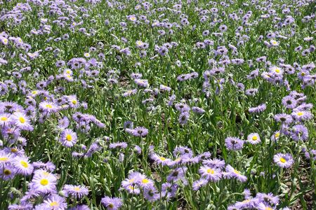 Leafage and violet flowers of Erigeron speciosus in June Imagens