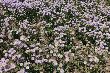 Little pale violet flowers of Erigeron speciosus in June Imagens