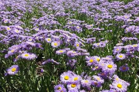 Lots of violet flowers of Erigeron speciosus Stock Photo