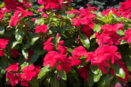 Flowers of red Catharanthus roseus in July