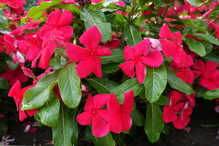 Glossy green leaves and red flowers of Catharanthus roseus in July Stock Photo