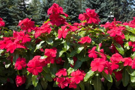 Red flowers of Catharanthus roseus in July