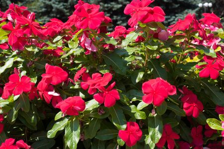 Rosy periwinkle with red flowers in July