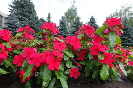 Vivid red flowers of Catharanthus roseus in July