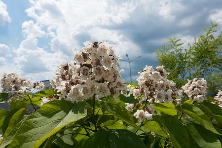 Catalpa tree flowers against the sky in June