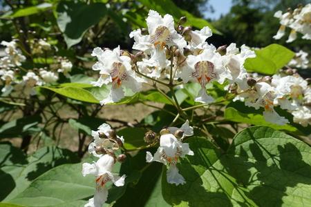 Close shot of white flowers of catalpa tree