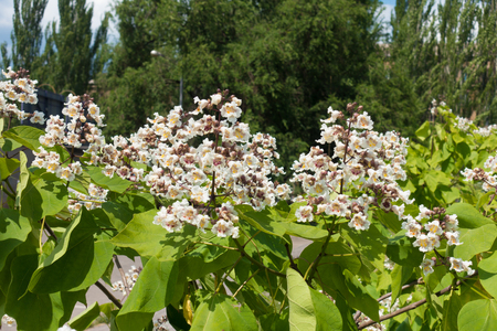 Large white flowers of catalpa tree in June Stock Photo