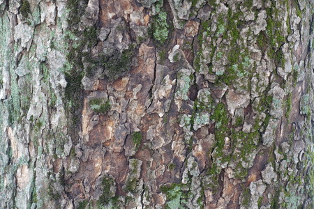 Tree bark with moss and lichen (texture)