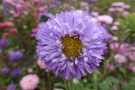 Close shot of violet flower head of China aster Imagens