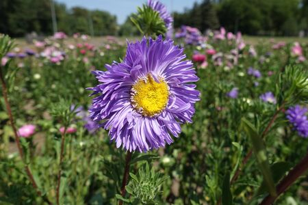 Close view of violet flower head of China aster Imagens