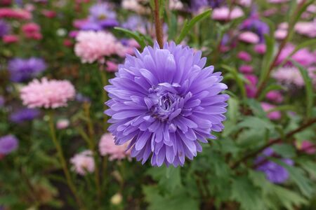 Double flowered violet China aster in September Imagens