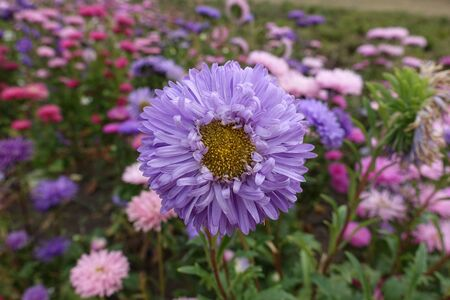 Front view of violet flower head of China aster 版權商用圖片