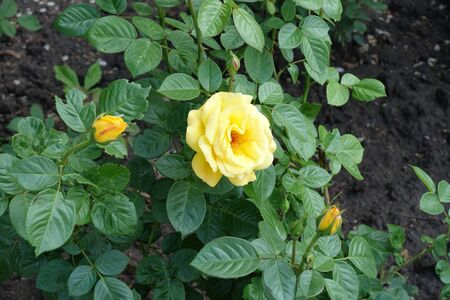 Flower and buds of yellow garden rose in May