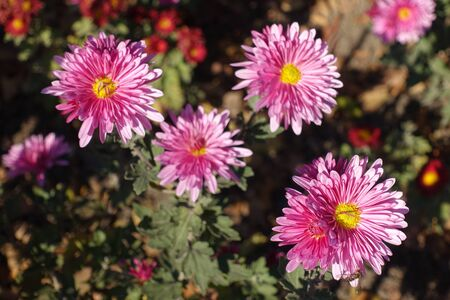 Big pink flowers of Chrysanthemum in November