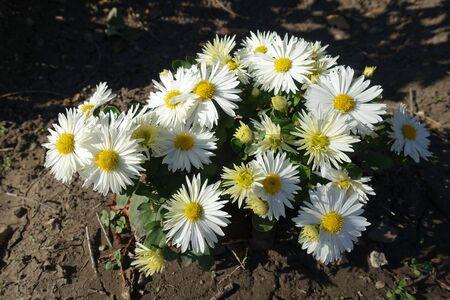 Flowering bush of white Chrysanthemums in mid October 版權商用圖片