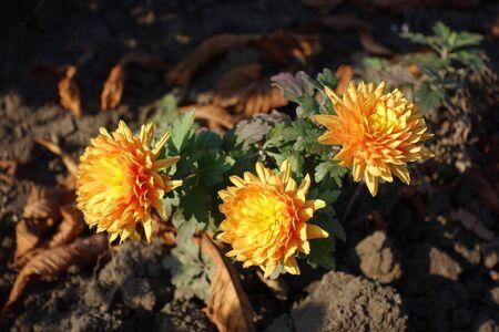 3 amber yellow flowers of Chrysanthemum in November