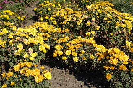 A lot of yellow flowers of Chrysanthemum in the garden in October Imagens