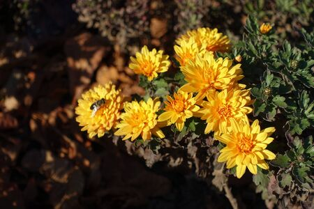 Amber yellow flowers of Chrysanthemum in November