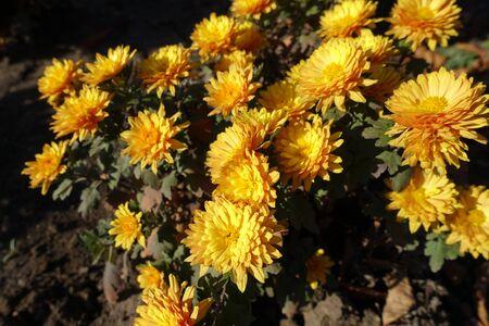 Beautiful amber yellow flowers of Chrysanthemum of November 版權商用圖片