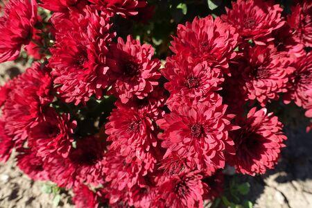 Close view of red flowers of Chrysanthemums in mid October 版權商用圖片