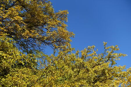 Autumn foliage of mulberry tree against blue sky