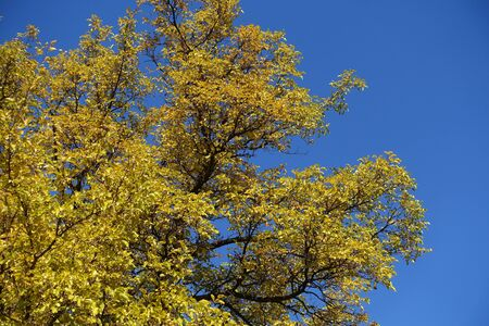 Branches of mulberry against blue sky in autumn