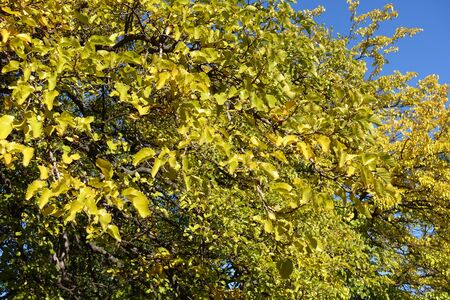 Bright yellow leafage of mulberry against blue sky in autumn Imagens